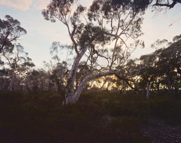 Snow gum at dawn