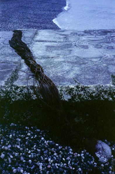 Kelp fronds on drain