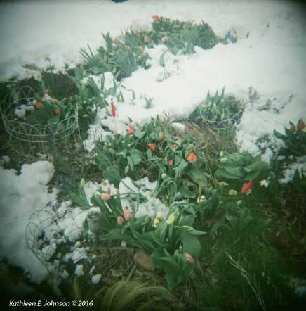 SpringSnow2